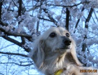 なつ・桜2.jpg