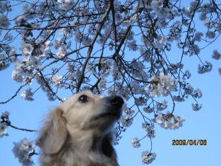 なつ・桜3.jpg