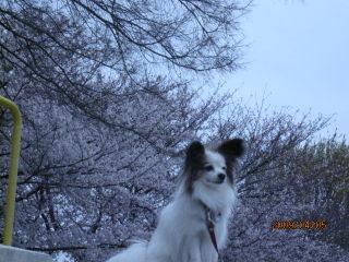 パピ・桜.jpg