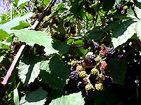 blackberry082205.2