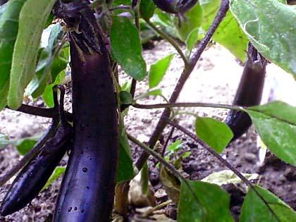 eggplant081105