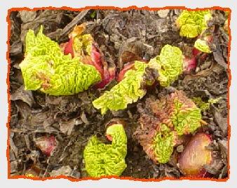 rhubarb030905.50.jpg