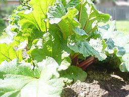 rhubarb042605.50.jpg