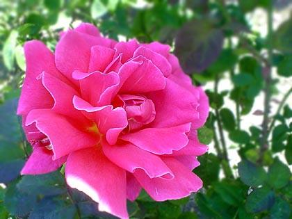 rose092205