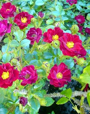 rose110905