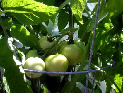 tomato072905