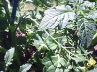 tomatomini072905