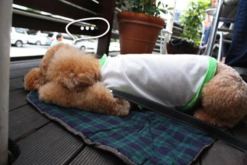 元町,犬,トイプードル