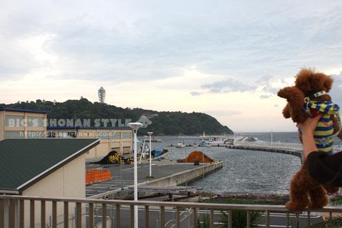 江ノ島,犬,トイプードル