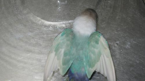 IMG_0795 しろた 水浴び 3