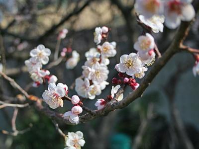 梅?桜??