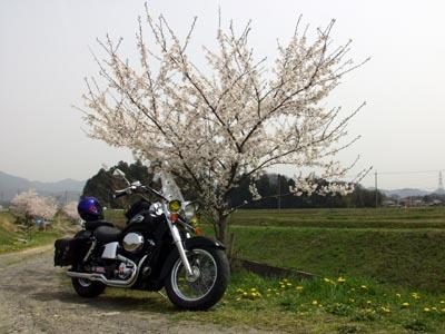 各所で桜が満開