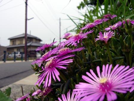 公園横の道端に咲いてた花1