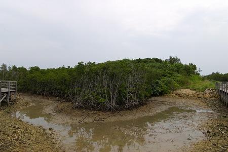 島尻のマングローブ