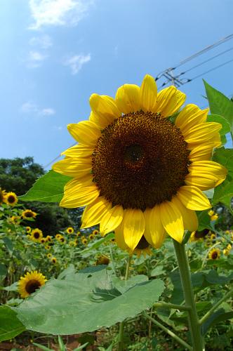 sunfloweraug.jpg