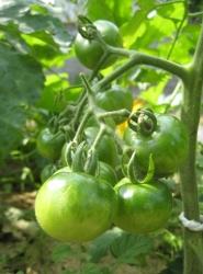2009トマト緑