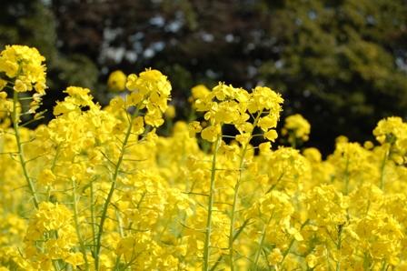 0310菜の花_1