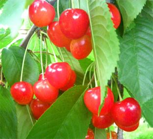 07_cherry01.jpg