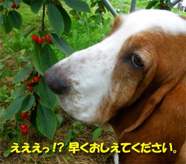 07_cherry05.jpg