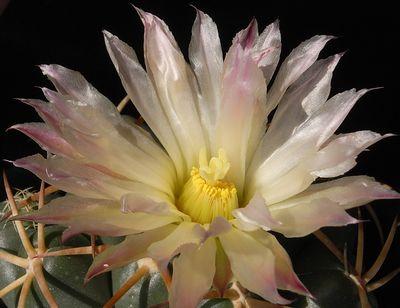 大疣象牙丸の開花2