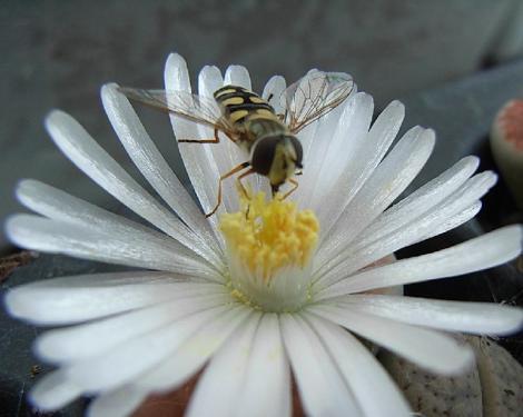 リトープスの花と訪問者