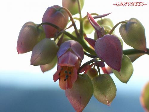 カマサワギ花1