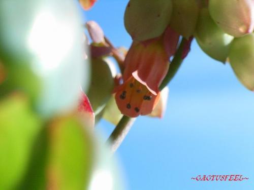 カマサワギ花2