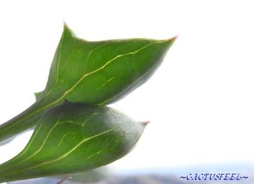 マサイの葉