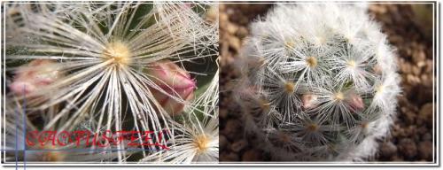 蕾赤花カルメナエ