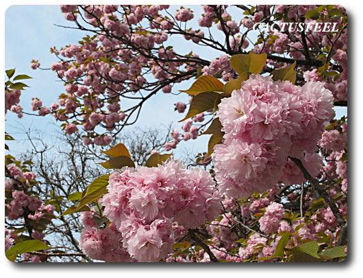 飛鳥山公園2009春