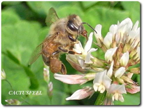 ミツバチ0503