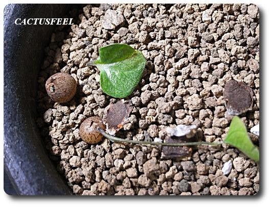 亀甲竜0515-1