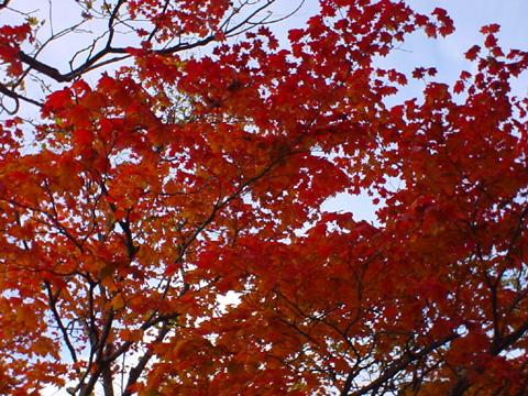 紅葉は燃え立つ