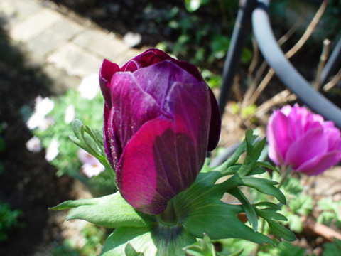 深紫のアネモネ蕾