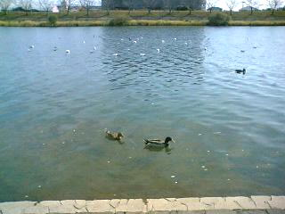 川にはたくさんの(・Θ・)(・Θ・)(・Θ・)(・Θ・)(・Θ・)鳥さんたち♪ ( photo by mobile phone )