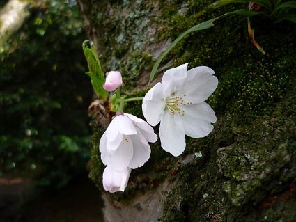 桜 ( 2009 march )