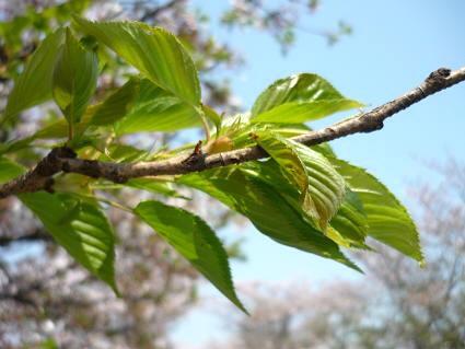 桜 ( 2009 april )