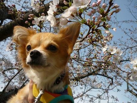 桜とmeru ( 2009 march )
