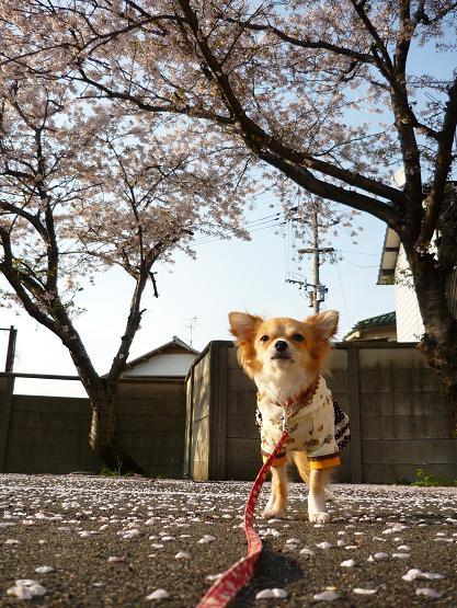 meru・・桜と♪ ( 2009 april )