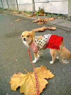 道に大きな落ち葉が・・ ( photo by mobile phone )