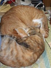 2008猫アンモナイトさらに一体化
