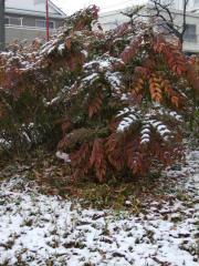 初雪2008_001
