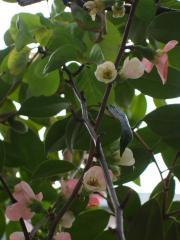 Feb2008ChaenomelesSpeciosa1.jpg