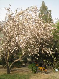カイドウの大木