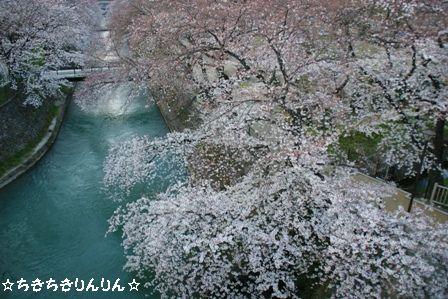幸の池 桜
