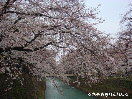 幸の池 桜3