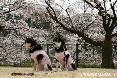 親水公園 桜ちきりん