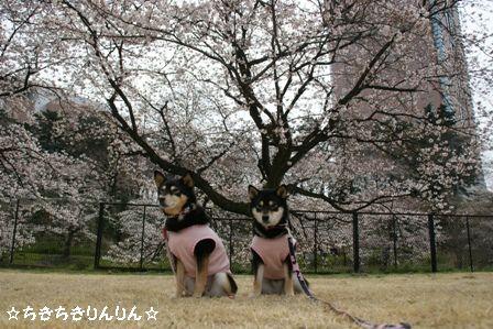 親水公園 桜ちきりん2