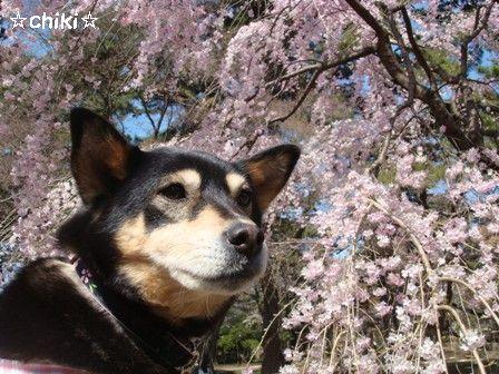 しだれ桜ちき