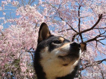 しだれ桜りん